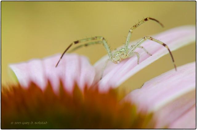 Crab spider 8637